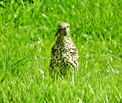 Thrush gathering food and nesting material
