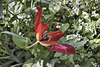 """Red Poppy"" – El-Muraqa Monastery, Daliyat al-Karmel, Israel"