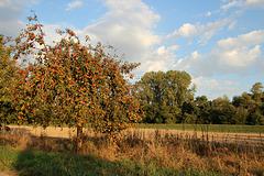 Apfelbäumchen auf der Pfälzer Rheinseite
