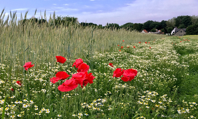 Walking between the Poppies and Camomile...