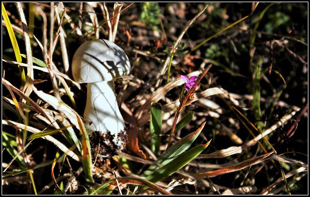 le champignon et l'oeillet- Dianthus armeria et champignon inconnu