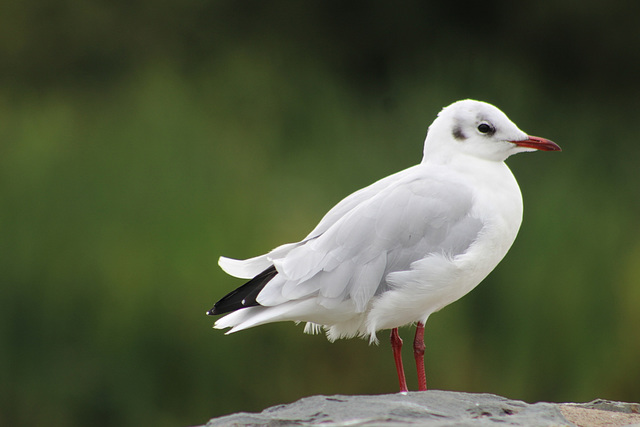 Blackhead Gull