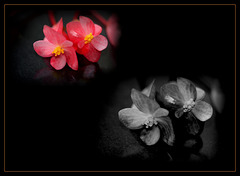 Nice Week to all ....Begonia albo-maculata