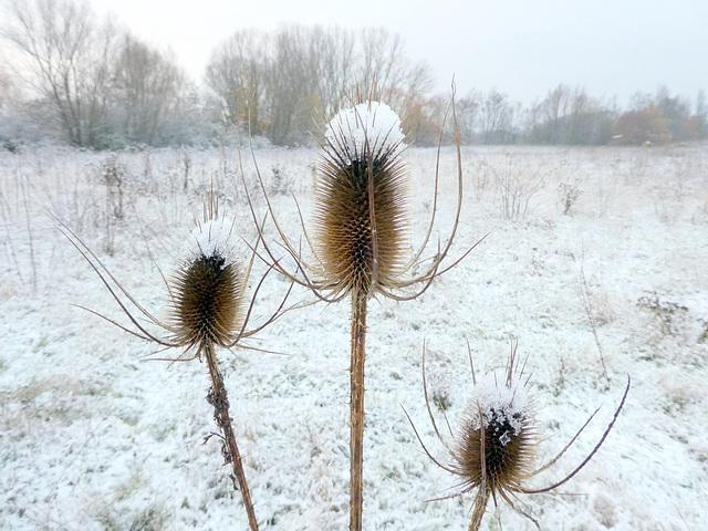 Wilde Karden und erster Schnee im Dezember