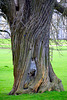 England 2016 – Burghley House – Twisted tree