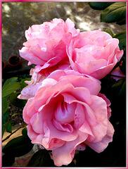 Rosa Damascena. ©UdoSm