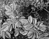 Shrub rose foliage - May 1986