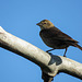 Brown-headed Cowbird / Molothrus ater