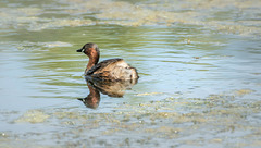 Grebe on Calm Waters