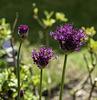 Allium opening up