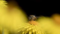 Bee on Strawflower