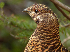 Spruce Grouse, adult female
