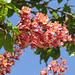 Kastanienblüten in Rot