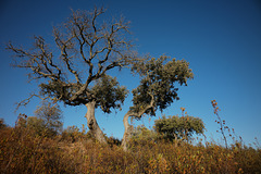 Azinheira, Quercus ilex, Penedos
