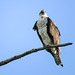 Osprey / Pandion haliaetus