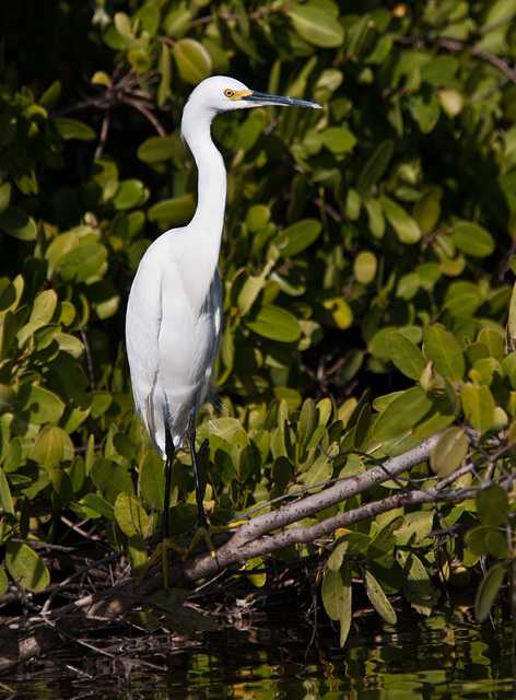 Adult Snowy Egret
