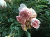 rosen 8600