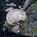 gdn - mystery fungus = Polyporus squamosus (HOT)