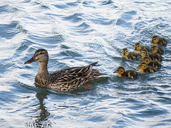 Mallard family swimming on the river
