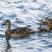 Mallard family swimming on the river