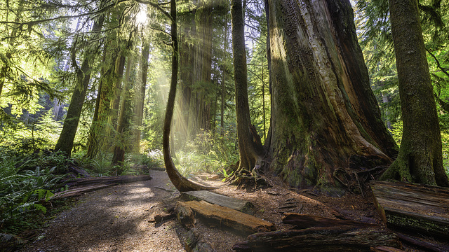 Redwoods and Rays