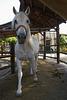 White horse exercising at Jerez