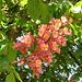 Kastanienblüte in Rot