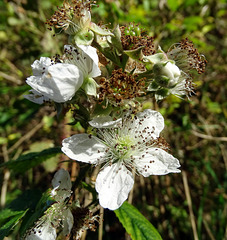 Blackberry flowers which won't come to fruition