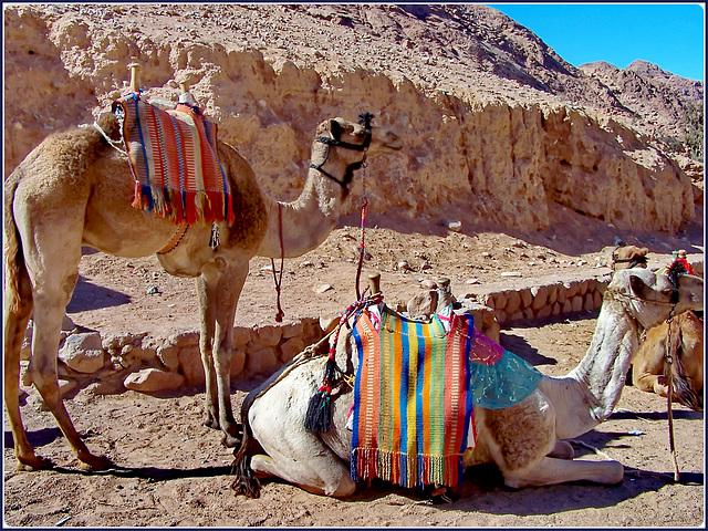 SINAI : ancora 1500 mt. da fare a piedi oppure sul dromedario per arrivare al monastero