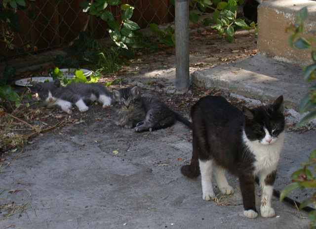 Feral cat family (1709)
