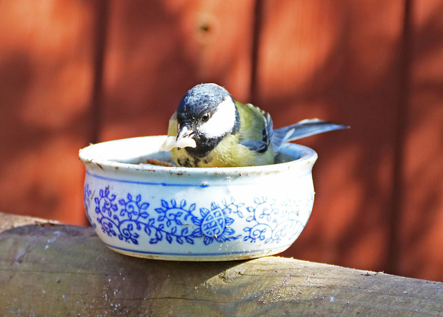 Our Legless Great Tit.