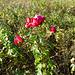rose-8235