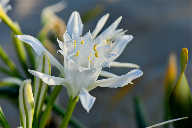 Pancratium maritimum - Narciso das areias.