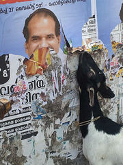 Goat eating a poster