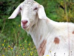 Goat On a Local Farm.