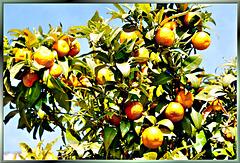 Wo die Orangen wachsen...  ©UdoSm