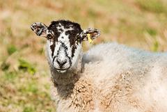 Sheep - 20160317