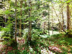 Frisches Grün im Ammerwald. Fresh green in the Ammerwald. ©UdoSm
