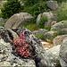 Stonecrop on granite