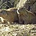 Zwei junge Alpen-Murmeltiere ... sehr neugierig !