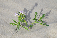 Flore des dunes !