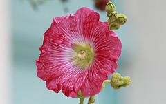 Rose trémière charentaise