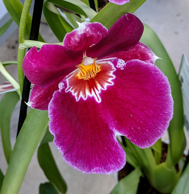 ORCHIDEE / ORCHID