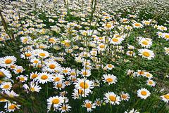 A daisy meadow...