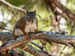 Day 7, Red Squirrel, Tadoussac