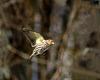 Pine Siskin in Flight