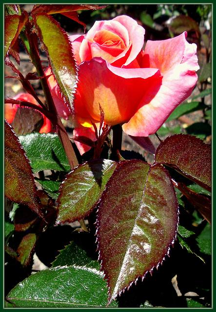 Rose garden, Retiro, Madrid