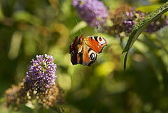 Peacock in buddleia