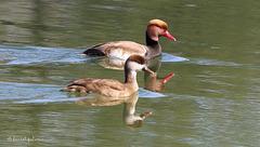 Nette rousse -  Netta rufina - Red-crested Pochard (en couple)