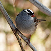 Day 7, White-crowned Sparrow, Tadoussac